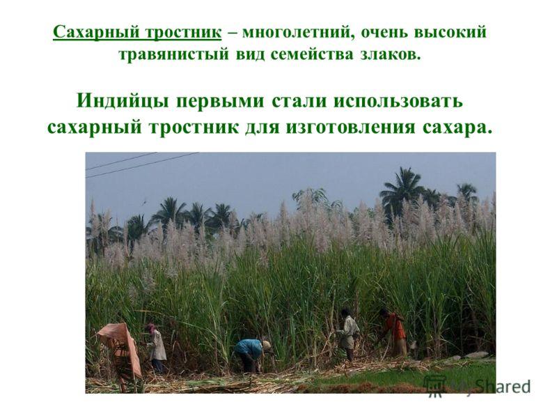Сахарный тростник – многолетний, очень высокий травянистый вид семейства злаков. Индийцы первыми стали использовать сахарный тростник для изготовления сахара.