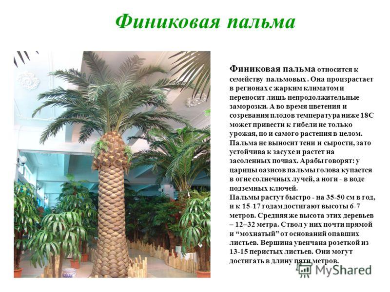 Финиковая пальма Финиковая пальма относится к семейству пальмовых. Она произрастает в регионах с жарким климатом и переносит лишь непродолжительные заморозки. А во время цветения и созревания плодов температура ниже 18С может привести к гибели не тол