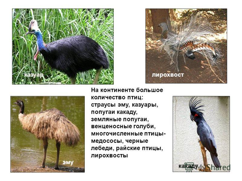 На континенте большое количество птиц: страусы эму, казуары, попугаи какаду, земляные попугаи, венценосные голуби, многочисленные птицы- медососы, черные лебеди, райские птицы, лирохвосты казуарлирохвост эму какаду