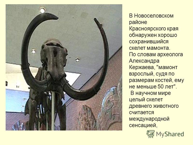 В Новоселовском районе Красноярского края обнаружен хорошо сохранившийся скелет мамонта. По словам археолога Александра Кержаева,