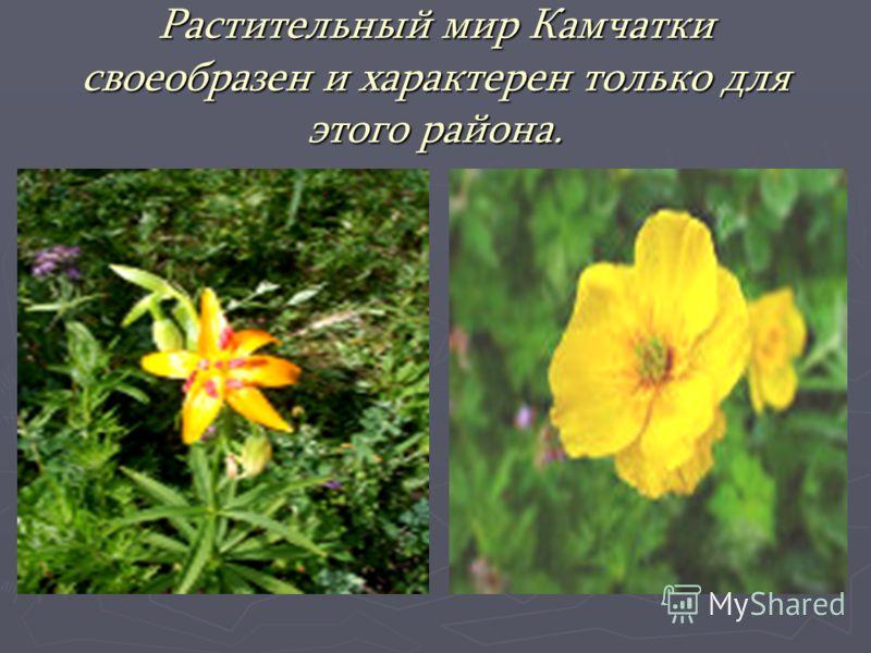 Растительный мир Камчатки своеобразен и характерен только для этого района.