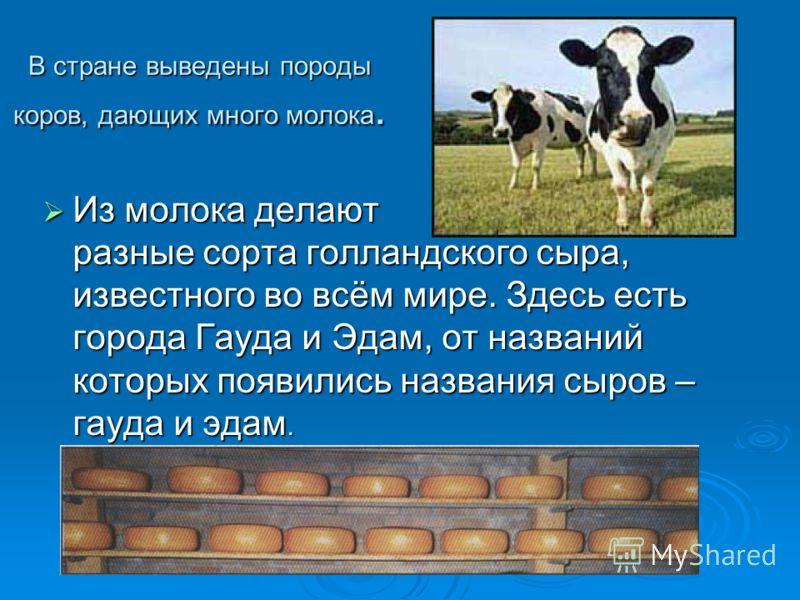 В стране выведены породы коров, дающих много молока. Из молока делают разные сорта голландского сыра, известного во всём мире. Здесь есть города Гауда и Эдам, от названий которых появились названия сыров – гауда и эдам. Из молока делают разные сорта