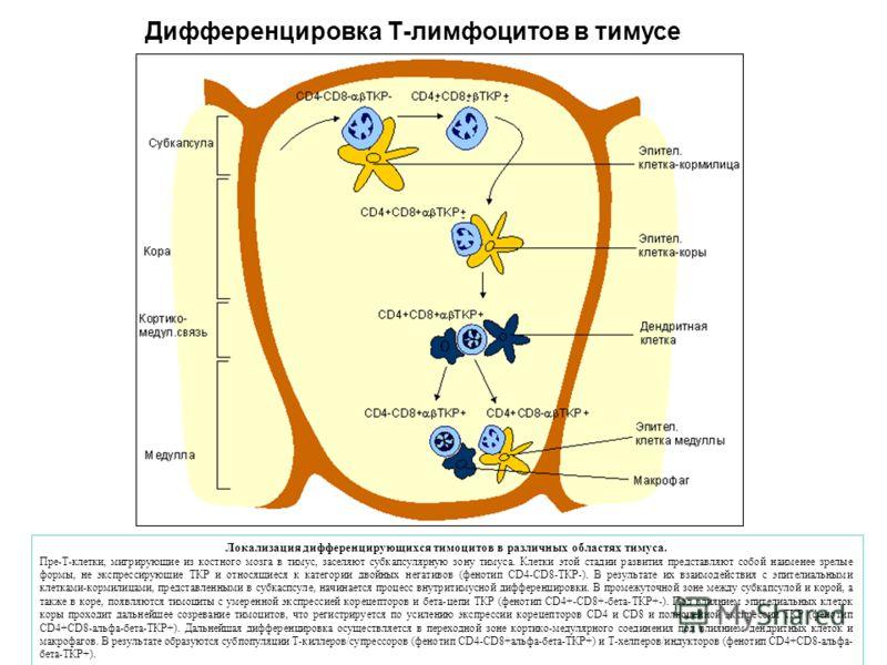 Локализация дифференцирующихся тимоцитов в различных областях тимуса. Пре-Т-клетки, мигрирующие из костного мозга в тимус, заселяют субкапсулярную зону тимуса. Клетки этой стадии развития представляют собой наименее зрелые формы, не экспрессирующие Т