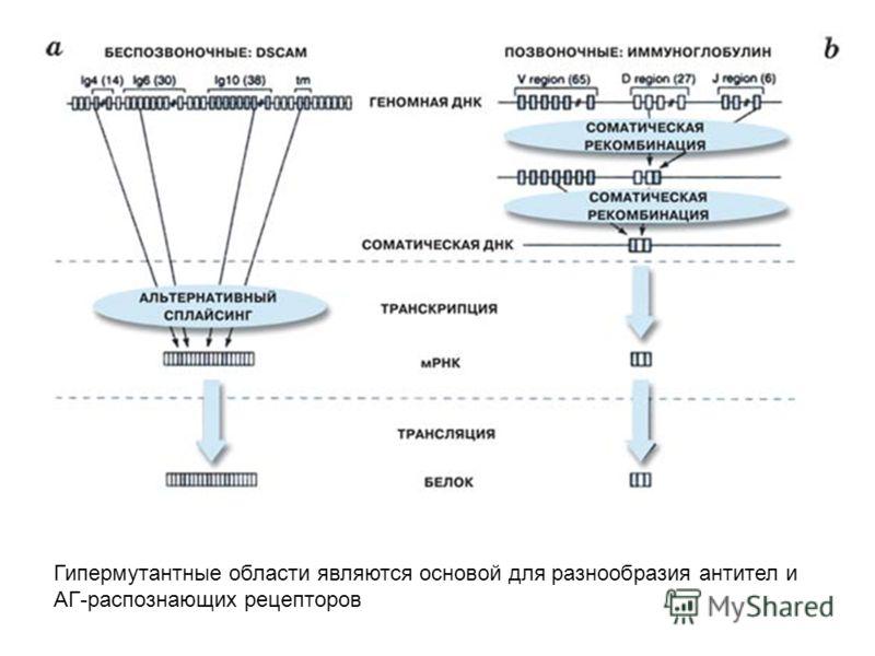 Гипермутантные области являются основой для разнообразия антител и АГ-распознающих рецепторов