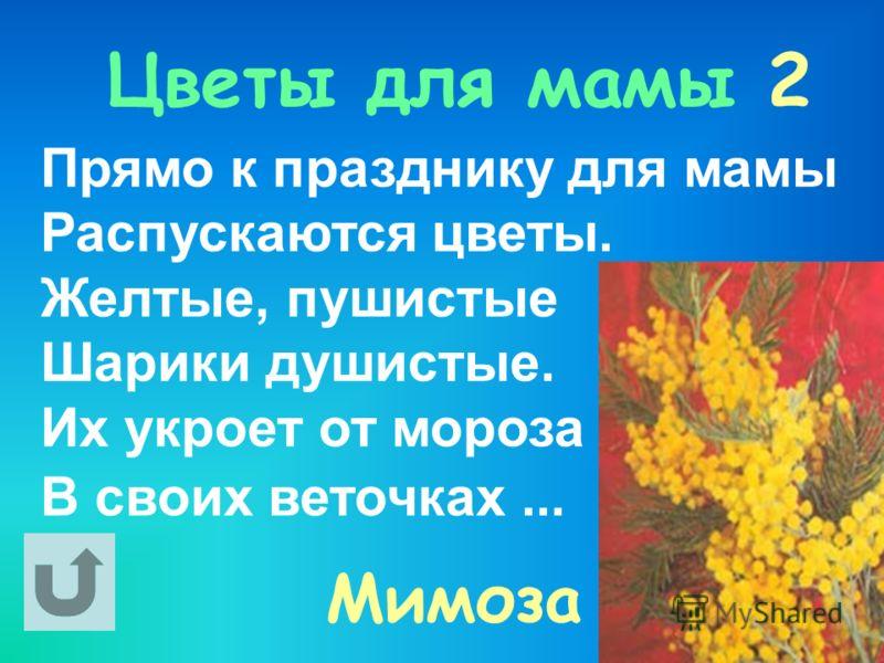 Цветы для мамы 2 Прямо к празднику для мамы Распускаются цветы. Желтые, пушистые Шарики душистые. Их укроет от мороза В своих веточках... Мимоза