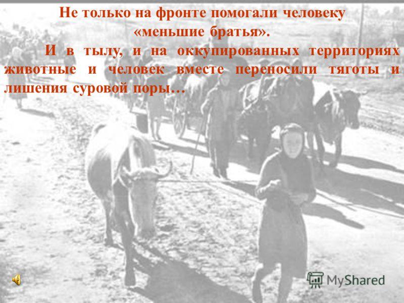 Не только на фронте помогали человеку «меньшие братья». И в тылу, и на оккупированных территориях животные и человек вместе переносили тяготы и лишения суровой поры…