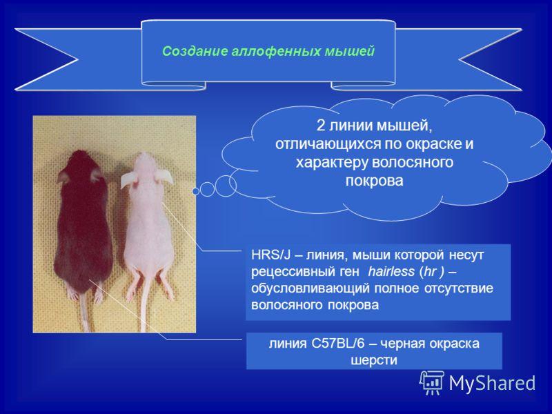 Создание аллофенных мышей 2 линии мышей, отличающихся по окраске и характеру волосяного покрова HRS/J – линия, мыши которой несут рецессивный ген hairless (hr ) – обусловливающий полное отсутствие волосяного покрова линия С57BL/6 – черная окраска шер