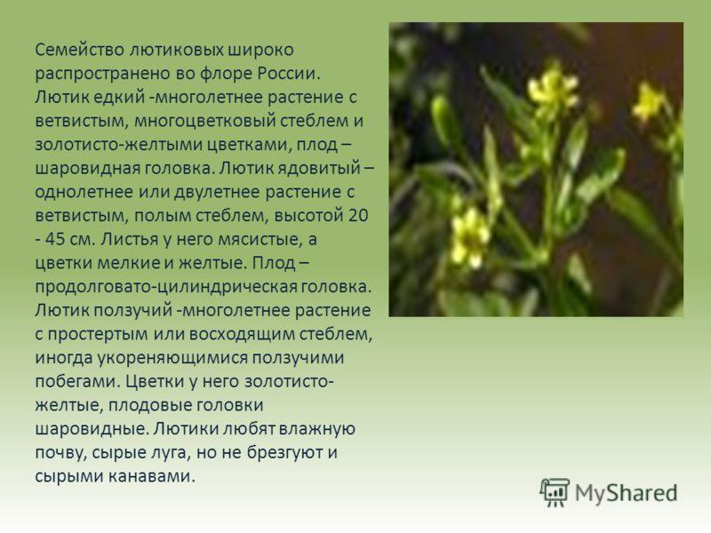 Семейство лютиковых широко распространено во флоре России. Лютик едкий -многолетнее растение с ветвистым, многоцветковый стеблем и золотисто-желтыми цветками, плод – шаровидная головка. Лютик ядовитый – однолетнее или двулетнее растение с ветвистым,