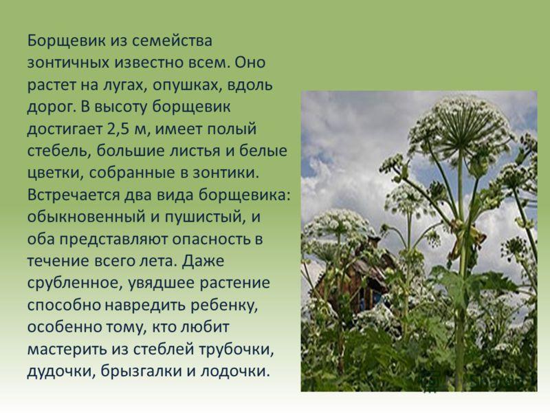 Борщевик из семейства зонтичных известно всем. Оно растет на лугах, опушках, вдоль дорог. В высоту борщевик достигает 2,5 м, имеет полый стебель, большие листья и белые цветки, собранные в зонтики. Встречается два вида борщевика: обыкновенный и пушис