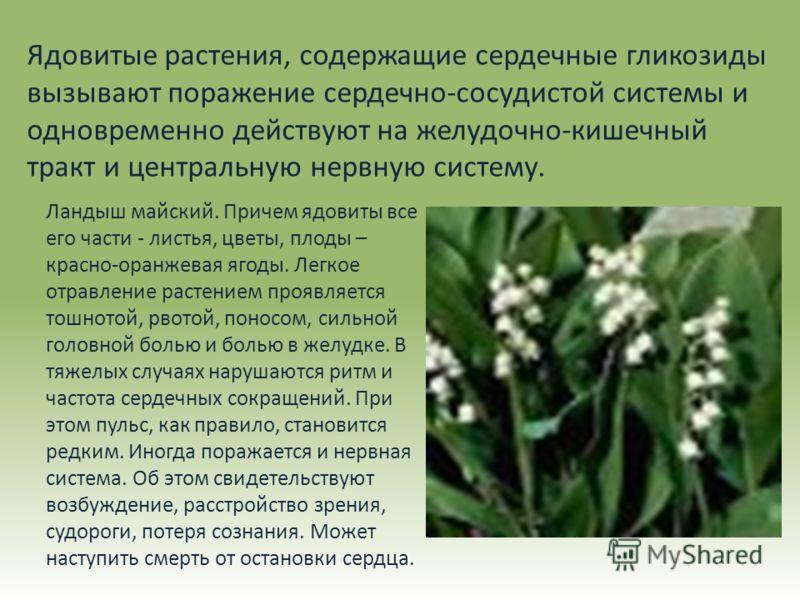 Ядовитые растения, содержащие сердечные гликозиды вызывают поражение сердечно-сосудистой системы и одновременно действуют на желудочно-кишечный тракт и центральную нервную систему. Ландыш майский. Причем ядовиты все его части - листья, цветы, плоды –