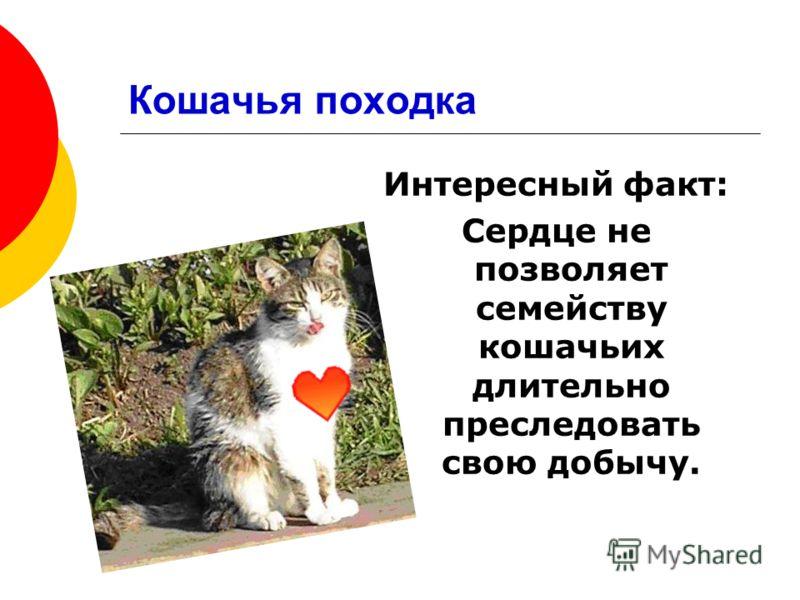 Интересный факт: Сердце не позволяет семейству кошачьих длительно преследовать свою добычу.