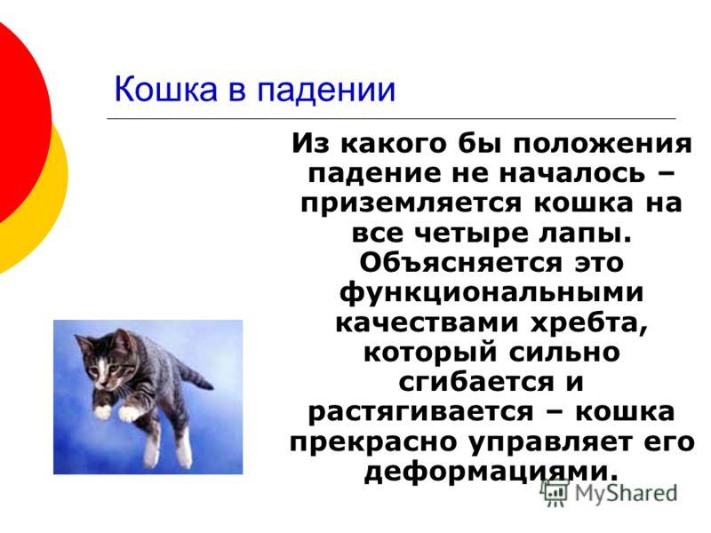 Кошка в падении Из какого бы положения падение не началось – приземляется кошка на все четыре лапы. Объясняется это функциональными качествами хребта, который сильно сгибается и растягивается – кошка прекрасно управляет его деформациями.
