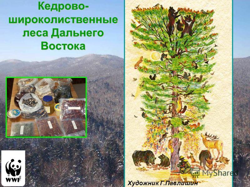 Кедрово- широколиственные леса Дальнего Востока Художник Г.Павлишин
