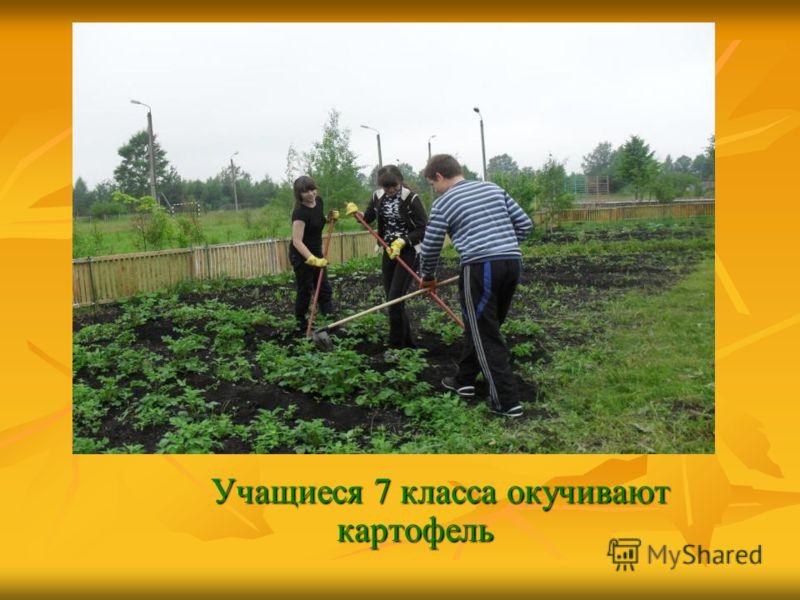 Учащиеся 7 класса окучивают картофель