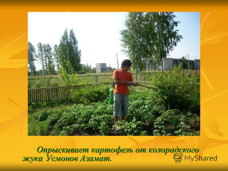 Опрыскивает картофель от колорадского жука Усмонов Азамат.