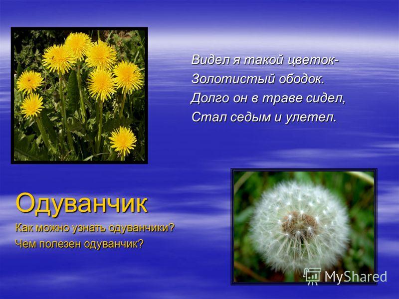 Видел я такой цветок- Золотистый ободок. Долго он в траве сидел, Стал седым и улетел. Одуванчик Как можно узнать одуванчики? Чем полезен одуванчик?