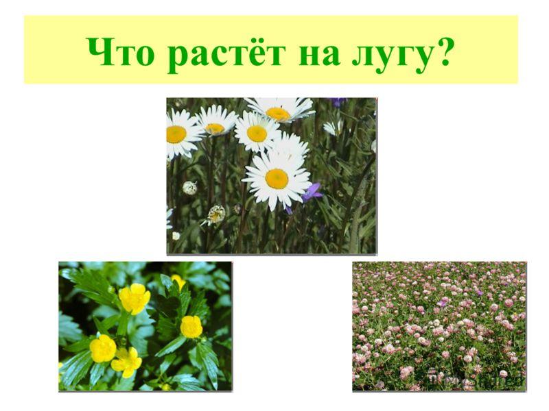 Что растёт на лугу?