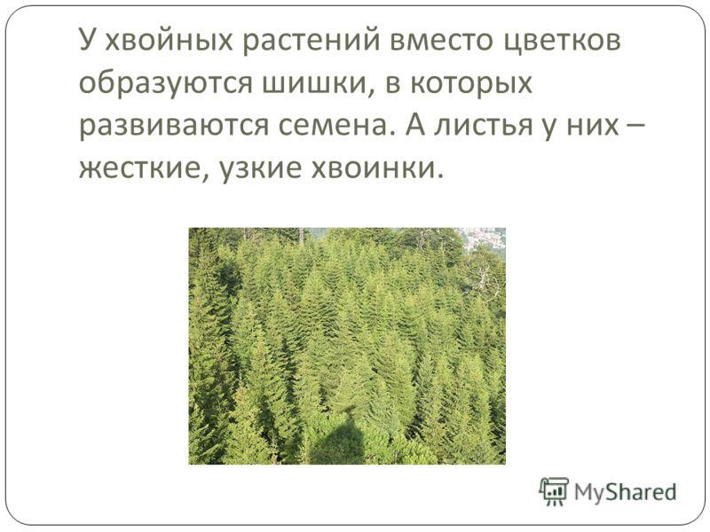 У хвойных растений вместо цветков образуются шишки, в которых развиваются семена. А листья у них – жесткие, узкие хвоинки.