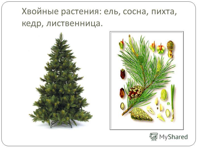 Хвойные растения : ель, сосна, пихта, кедр, лиственница.