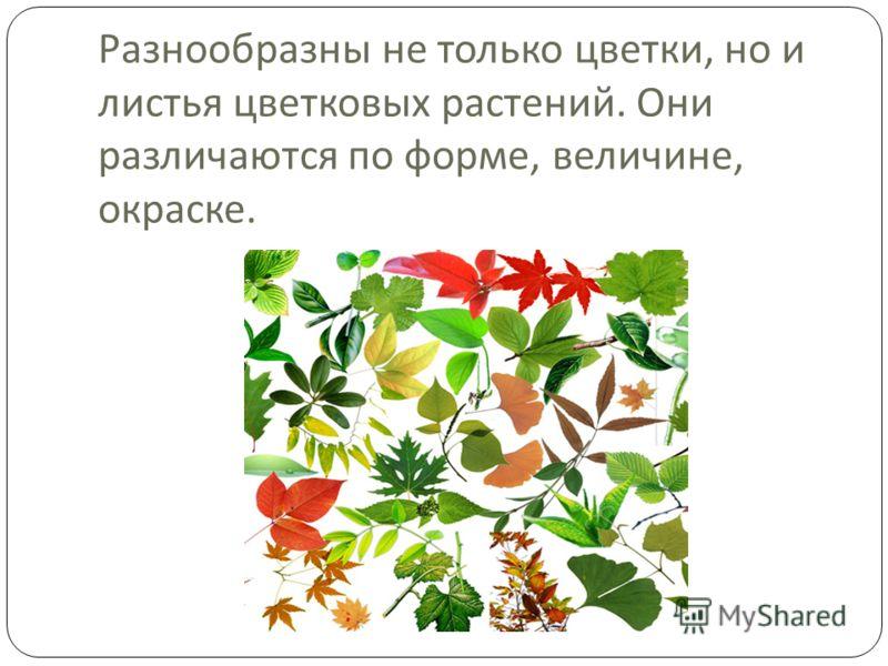 Разнообразны не только цветки, но и листья цветковых растений. Они различаются по форме, величине, окраске.