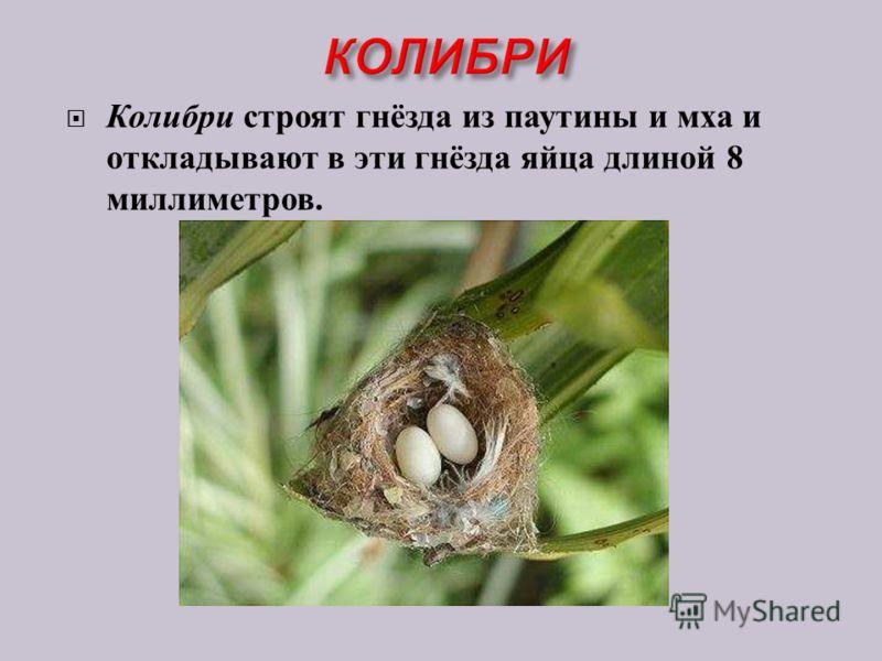 Колибри строят гнёзда из паутины и мха и откладывают в эти гнёзда яйца длиной 8 миллиметров.
