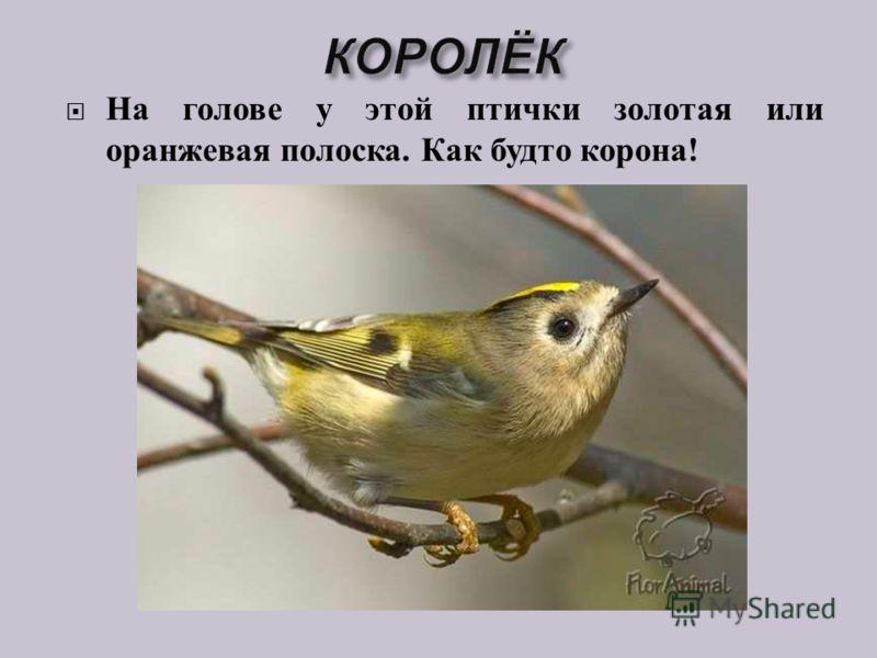 На голове у этой птички золотая или оранжевая полоска. Как будто корона !