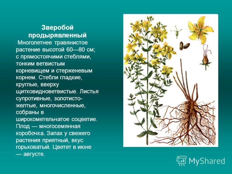Зверобой продырявленный Многолетнее травянистое растение высотой 6080 см; с прямостоячими стеблями, тонким ветвистым корневищем и стерженевым корнем. Стебли гладкие, круглые, вверху щитковидноветвистые. Листья супротивные, золотисто- желтые, многочис