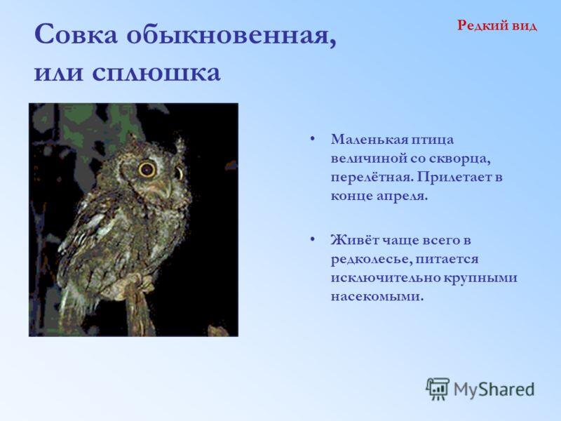Совка обыкновенная, или сплюшка Редкий вид Маленькая птица величиной со скворца, перелётная. Прилетает в конце апреля. Живёт чаще всего в редколесье, питается исключительно крупными насекомыми.