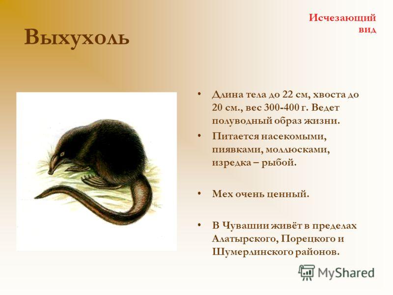 Выхухоль Длина тела до 22 см, хвоста до 20 см., вес 300-400 г. Ведет полуводный образ жизни. Питается насекомыми, пиявками, моллюсками, изредка – рыбой. Мех очень ценный. В Чувашии живёт в пределах Алатырского, Порецкого и Шумерлинского районов. Исче