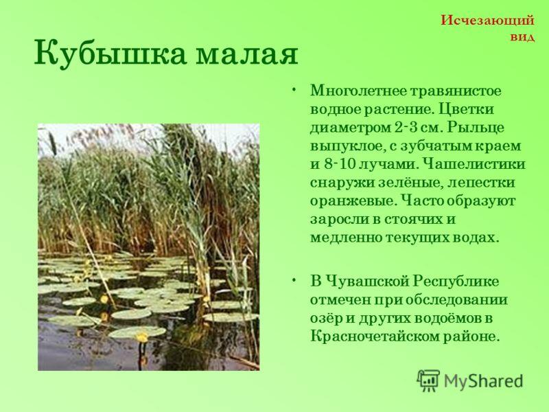 Кубышка малая Многолетнее травянистое водное растение. Цветки диаметром 2-3 см. Рыльце выпуклое, с зубчатым краем и 8-10 лучами. Чашелистики снаружи зелёные, лепестки оранжевые. Часто образуют заросли в стоячих и медленно текущих водах. В Чувашской Р