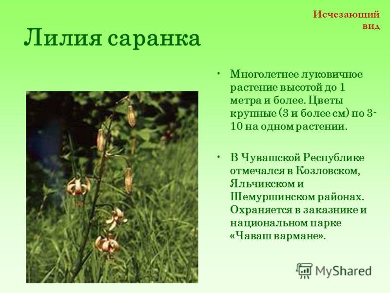 Лилия саранка Многолетнее луковичное растение высотой до 1 метра и более. Цветы крупные (3 и более см) по 3- 10 на одном растении. В Чувашской Республике отмечался в Козловском, Яльчикском и Шемуршинском районах. Охраняется в заказнике и национальном