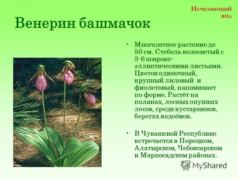 Венерин башмачок Многолетнее растение до 50 см. Стебель волосистый с 3-6 широко- эллиптическими листьями. Цветок одиночный, крупный лиловыйи фиолетовый, напоминает по форме. Растёт на полянах, лесных опушках лесов, среди кустарников, берегах водоёмов