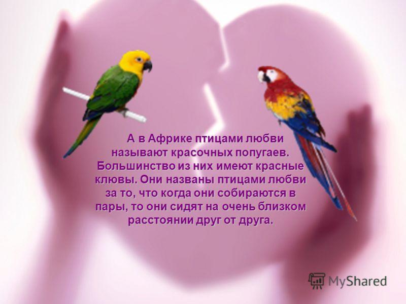 А в Африке птицами любви называют красочных попугаев. Большинство из них имеют красные клювы. Они названы птицами любви за то, что когда они собираются в пары, то они сидят на очень близком расстоянии друг от друга. А в Африке птицами любви называют