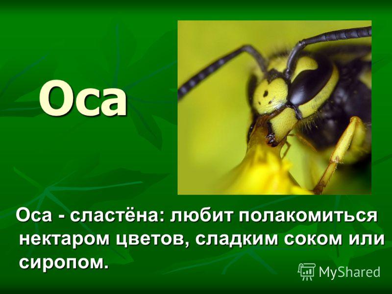 Оса Оса - сластёна: любит полакомиться нектаром цветов, сладким соком или сиропом. Оса - сластёна: любит полакомиться нектаром цветов, сладким соком или сиропом.