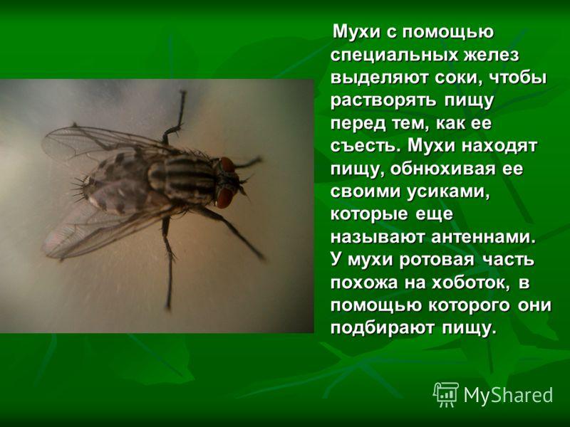 Мухи с помощью специальных желез выделяют соки, чтобы растворять пищу перед тем, как ее съесть. Мухи находят пищу, обнюхивая ее своими усиками, которые еще называют антеннами. У мухи ротовая часть похожа на хоботок, в помощью которого они подбирают п