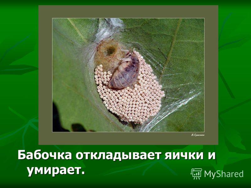 Бабочка откладывает яички и умирает.