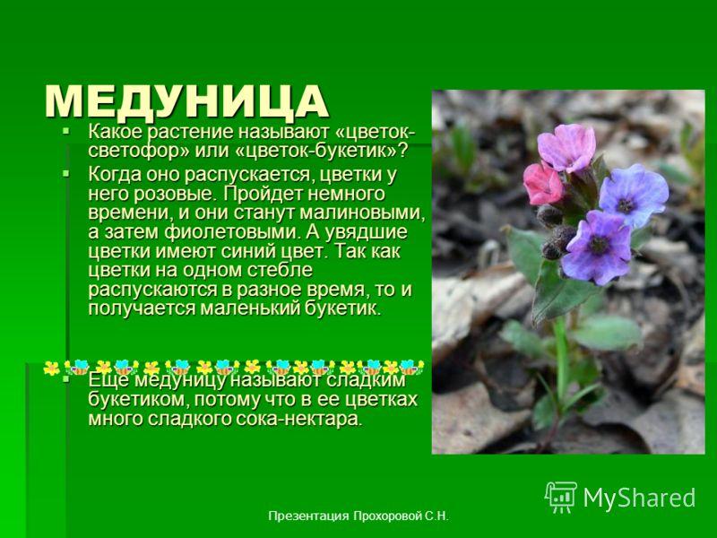 МЕДУНИЦА Какое растение называют «цветок- светофор» или «цветок-букетик»? Какое растение называют «цветок- светофор» или «цветок-букетик»? Когда оно распускается, цветки у него розовые. Пройдет немного времени, и они станут малиновыми, а затем фиолет