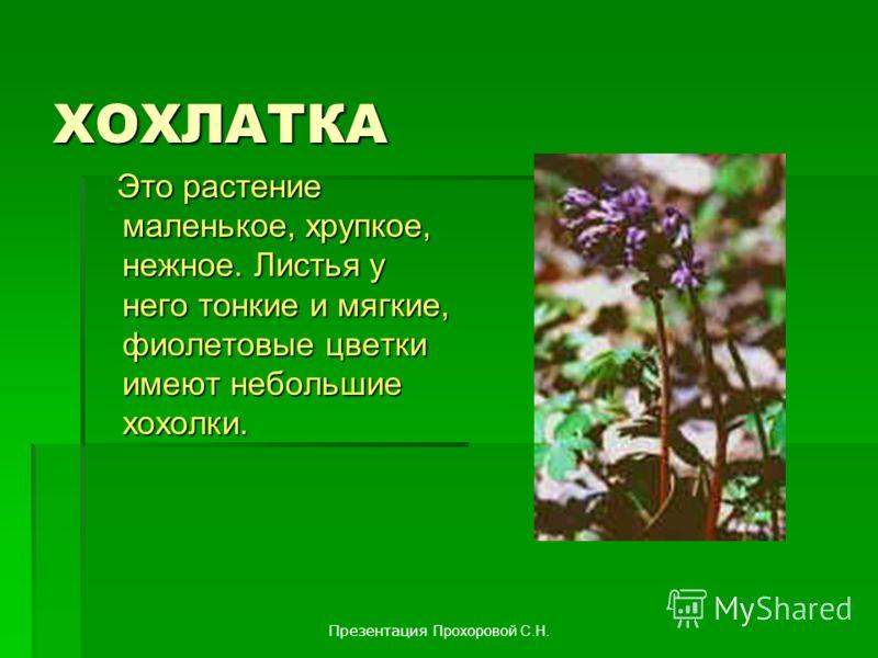 ХОХЛАТКА Это растение маленькое, хрупкое, нежное. Листья у него тонкие и мягкие, фиолетовые цветки имеют небольшие хохолки. Это растение маленькое, хрупкое, нежное. Листья у него тонкие и мягкие, фиолетовые цветки имеют небольшие хохолки. Презентация
