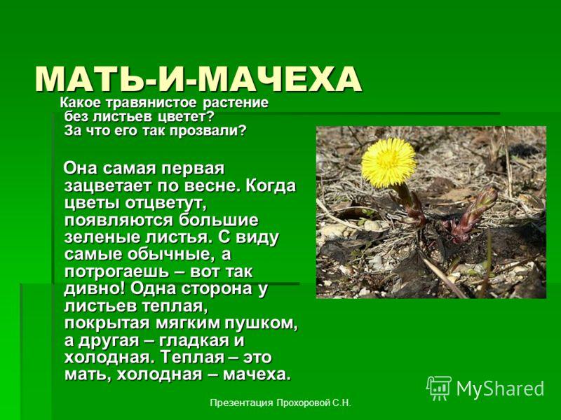 МАТЬ-И-МАЧЕХА Какое травянистое растение без листьев цветет? За что его так прозвали? Какое травянистое растение без листьев цветет? За что его так прозвали? Она самая первая зацветает по весне. Когда цветы отцветут, появляются большие зеленые листья