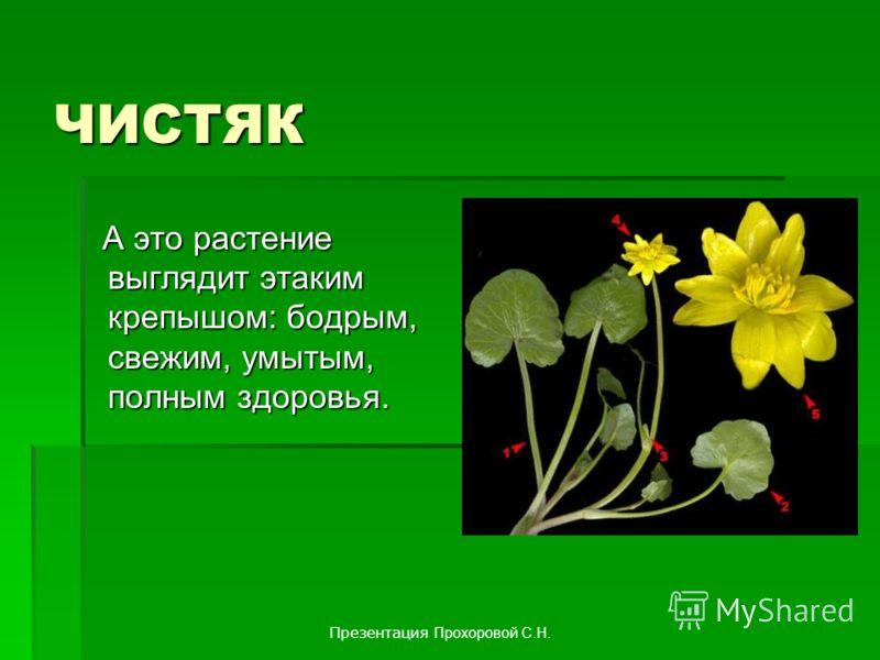 ЧИСТЯК А это растение выглядит этаким крепышом: бодрым, свежим, умытым, полным здоровья. А это растение выглядит этаким крепышом: бодрым, свежим, умытым, полным здоровья. Презентация Прохоровой С.Н.