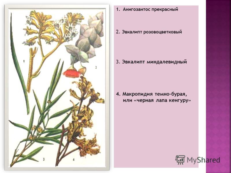 1. Анигозантос прекрасный 2. Эвкалипт розовоцветковый 3. Эвкалипт миндалевидный 4. Макропидия темно-бурая, или «черная лапа кенгуру»