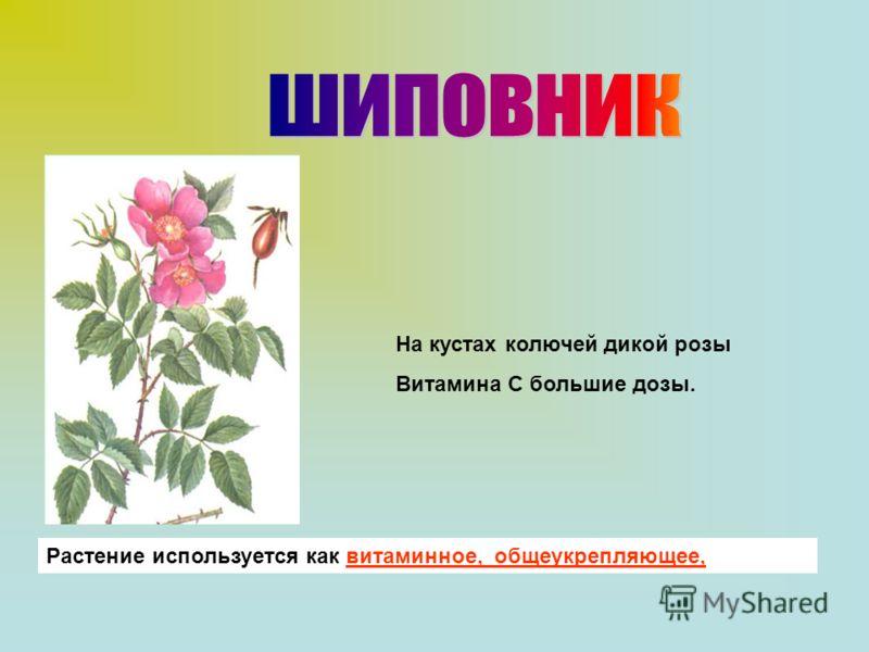 Растение используется как витаминное, общеукрепляющее, На кустах колючей дикой розы Витамина С большие дозы.