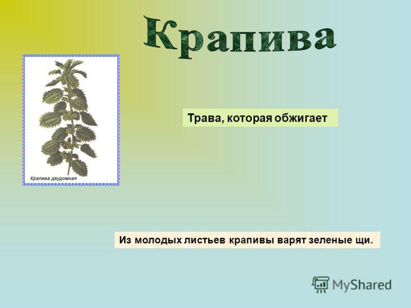 Из молодых листьев крапивы варят зеленые щи. Трава, которая обжигает