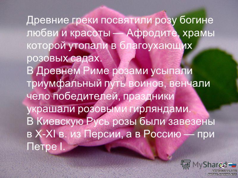 Древние греки посвятили розу богине любви и красоты Афродите, храмы которой утопали в благоухающих розовых садах. В Древнем Риме розами усыпали триумфальный путь воинов, венчали чело победителей, праздники украшали розовыми гирляндами. В Киевскую Рус
