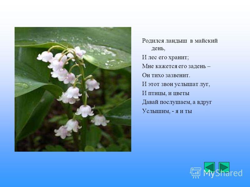 Родился ландыш в майский день, И лес его хранит; Мне кажется его задень – Он тихо зазвенит. И этот звон услышат луг, И птицы, и цветы Давай послушаем, а вдруг Услышим, - я и ты