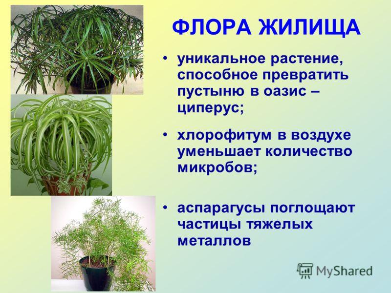 ФЛОРА ЖИЛИЩА уникальное растение, способное превратить пустыню в оазис – циперус; хлорофитум в воздухе уменьшает количество микробов; аспарагусы поглощают частицы тяжелых металлов