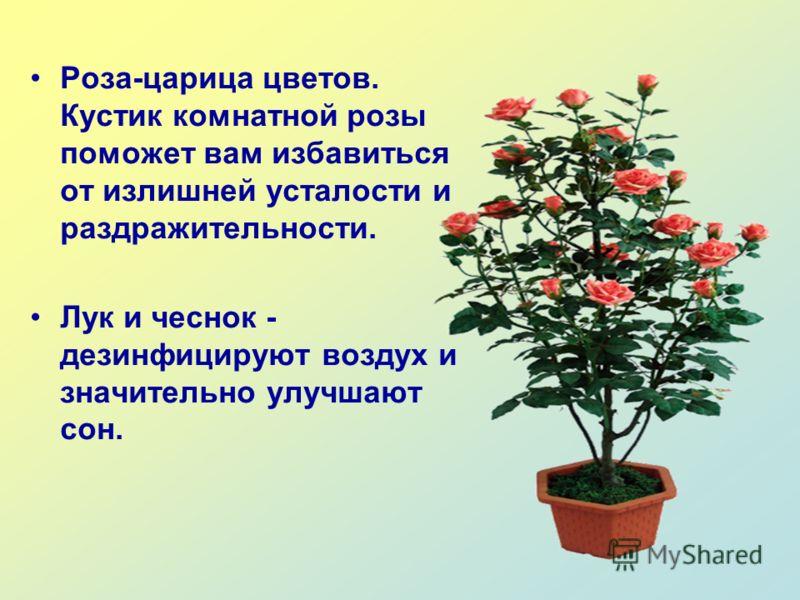 Роза-царица цветов. Кустик комнатной розы поможет вам избавиться от излишней усталости и раздражительности. Лук и чеснок - дезинфицируют воздух и значительно улучшают сон.