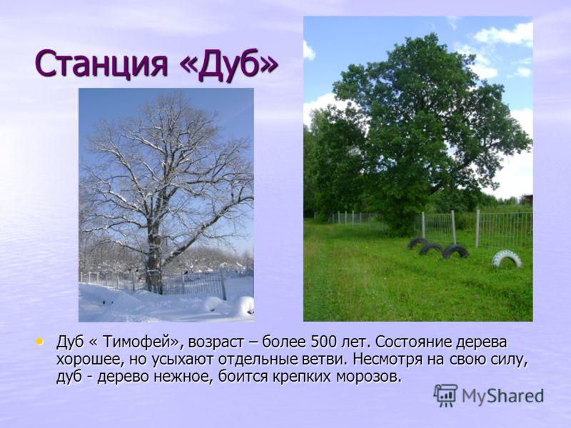 Станция «Дуб» Дуб « Тимофей», возраст – более 500 лет. Состояние дерева хорошее, но усыхают отдельные ветви. Несмотря на свою силу, дуб - дерево нежное, боится крепких морозов. Дуб « Тимофей», возраст – более 500 лет. Состояние дерева хорошее, но усы