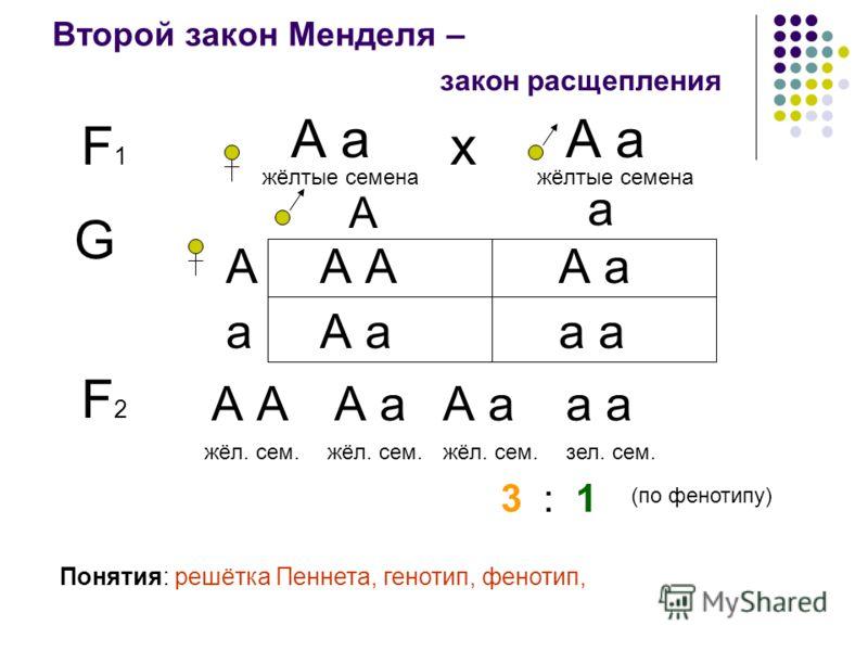 Второй закон Менделя – F1F1 А а жёлтые семена закон расщепления А а жёлтые семена х G А А а а А аА А аа Понятия: решётка Пеннета, генотип, фенотип, F2F2 А А а а жёл. сем. зел. сем. 3 : 1 (по фенотипу)