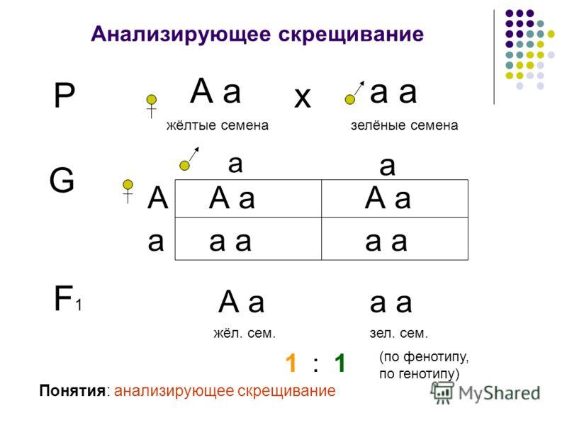 Анализирующее скрещивание Р А а жёлтые семена а зелёные семена х G а А а а А а а Понятия: анализирующее скрещивание F1F1 А аа жёл. сем.зел. сем. 1 : 1 (по фенотипу, по генотипу)